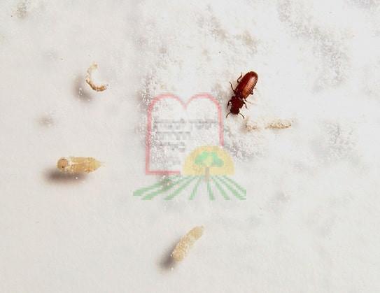 1. חיפושית הקמח