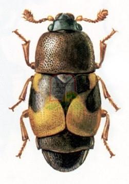 1. חיפושית התסיסה