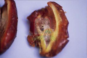 גולם של חיפושית התסיסה בתוך תמר