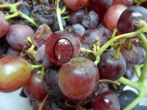 זחל של חיפושית התסיסה על ענבי יין