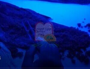 תולעים שהוצאו מבשר דג סלמון לאחר הקפאה, תחת אור אולטרה סגול