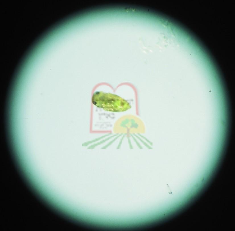 כנימת מגן תחת מיקרוסקופ