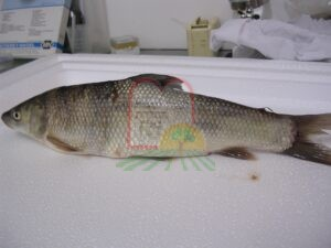 לרניאה בקצה הדג מעל הזנב של אמור נחלים