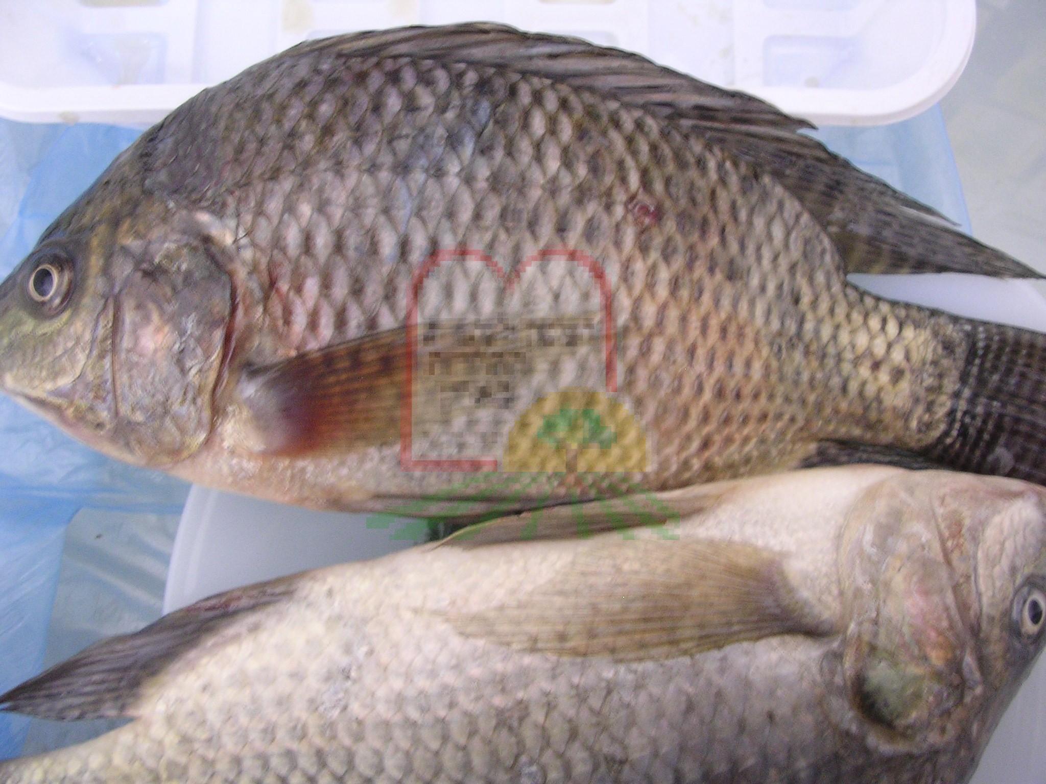 טפיל לרניאה באמנון באמצע הדג