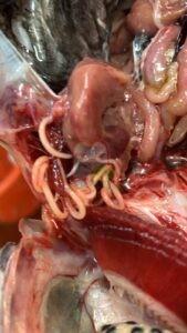 נמטודות שמקורן משקנאים בבריכות דגי אמנון