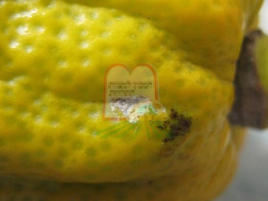 נזק של כנימה קמחית באתרוג בתמונה הקטנה נזק של כנימה קמחית בפפאיה