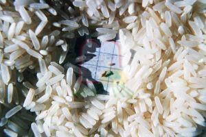 אורזיות בין גרגירי אורז בתוך שקית לצרכן