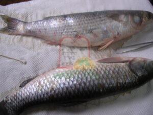 דגי בורי מגידול בבריכות עם טפיל לרניאה שלא במקום הקשקש