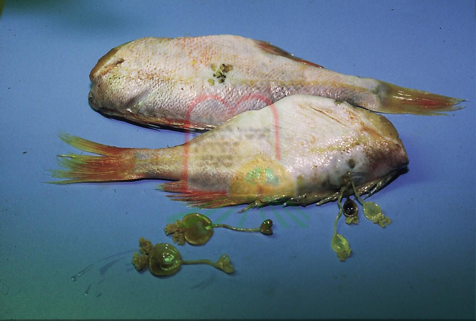 טפילים מרובים תקועים בתוך דג רוטברש