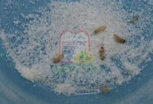 זחלי עורית (חיפושית) הגרגרים.
