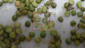 חרקים בוגרים בין גרגירי אפונים חצויים