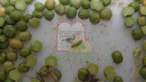 חרקים בוגרים בין גרגירי אפונה חצויים