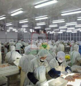 בדיקת דגי בקלה על שולחנות אור בסין