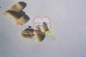 חיפושית וזחל בבוטנים קלופים, ניתן להבחין בפירורים שייצרו החרקים