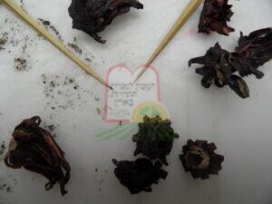 זחל חיפושית הטבק בהיביסקוס מיובש