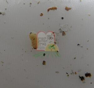 חרקי המחסן בהגדלה ניתן להבחין גם בפסוקאי מחסן
