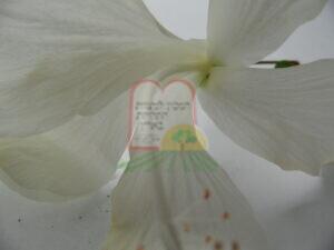 תריפס בוגר בתוך פרח