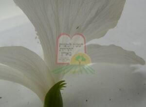 זחל  תריפס צעיר בפרח