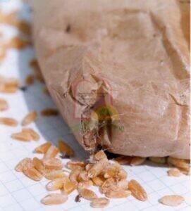 חרקים בוגרים וזחלים בגרגירי חיטה, ניתן להבחין בקורים בתחתית השקית
