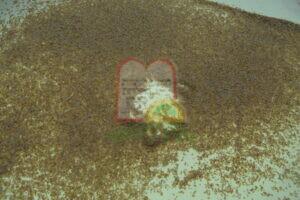 חרקים בוגרים וזחלים בבדיקה על שולחן אור