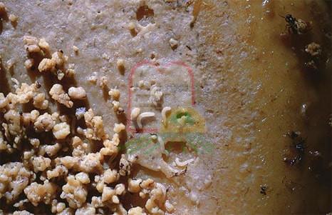 2. רימות הזבוב על הגבינה