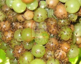 1. התקפה של זבובי תסיסה על ענבים