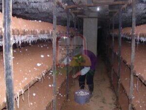 הפטריות מוכנות לקטיף [בתמונה הקטנה], קטיף הפטריות בסין
