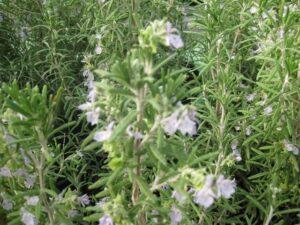 צמח הרוזמרין עם פריחתו