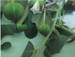 קפריסין [פקעי הפרחים] שגודלם כגודל גרגר חומוס. ניתן להבחין בכנימות עלה ההולכים על גבי הפרי. למעלה משמאל בהגדלה