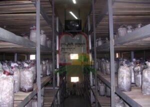 שיטת גידול פטריות אויסטאר בסין [ניתן להבחין במיזוג אויר ששולט בטמפרטורה ומאפשר גידול כל השנה]