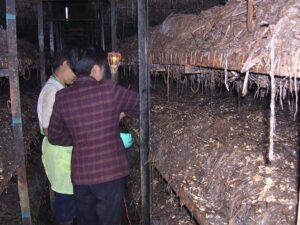תהליך זריעה ידנית של הפטריות בסין