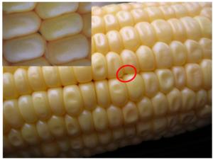 תריפס חבוי בין גרגרי התירס. משמאל למעלה – בהגדלה