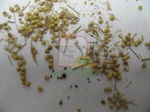 חיפושיות בין גרגרי כוסברה