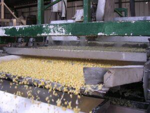 גרגרי תירס עוברים על מסוע כשמעליהם התזת מים מדיזות, ונופלים לבריכת שטיפה