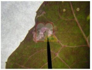 אלון אדום- מנהרה שנוצרה על ידי זחל זבוב המנהרות כאשר הזחל נשאר בתוכה
