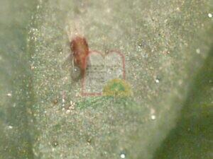אקרית אדומה על חסה בצמוד אליה ביצת האקרית