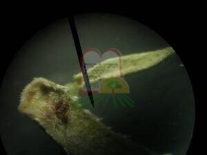 זעתר תימני נגוע – העלה תחת מיקרוסקופ