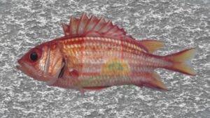 דג ברקן אדום