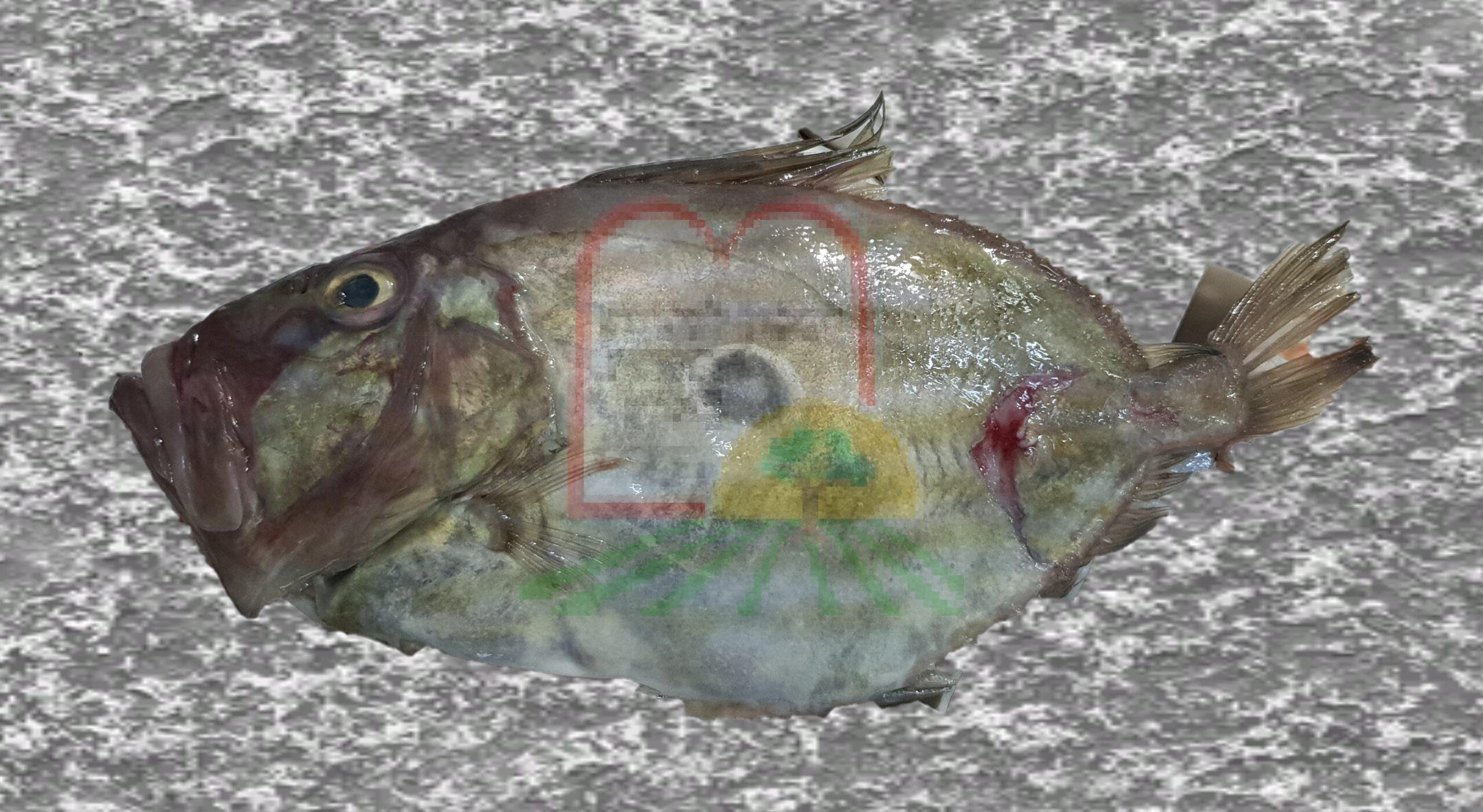 דג מוריגן הכתם