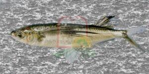 דג מעופף סנוניתן, מביצי דג זה מייצרים טוביקו