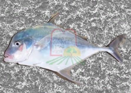 דג דבשתן