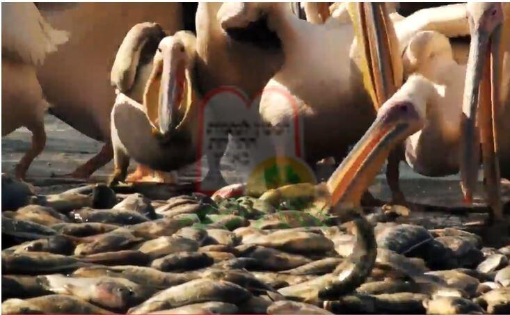 האכלה יזומה של שקנאים בדגים כדי שלא יאכלו את הדגים בברכות