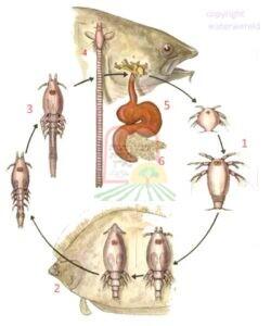 מחזור חיים של הטפיל/תולעת