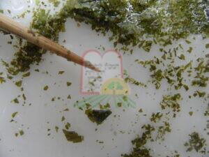 עלי תבלין מיובשים - פטרוזיליה מיובשת, לאחר שטיפה במים חמים וסינון נמצאה כנימת עלה שמקורה מהשדה