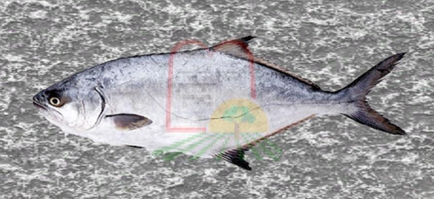 דג אריאן