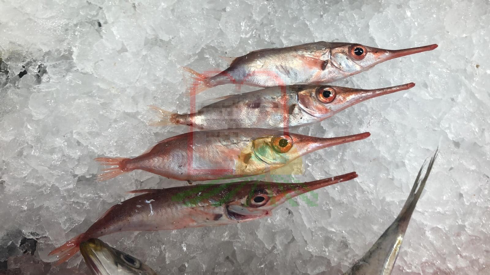 דגי בוסיף צעירים שעלו עם דייג הסרדינים
