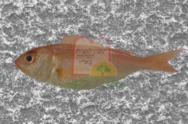 דג ברבידה/ברבון